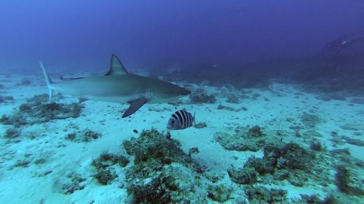 Sharks! Dive! Dive! Dive!