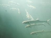 Blue Skies above Ellie Schiller Homosassa Springs Wildlife State Park 2 Fish @ Garzafx.com