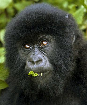 gorilla23
